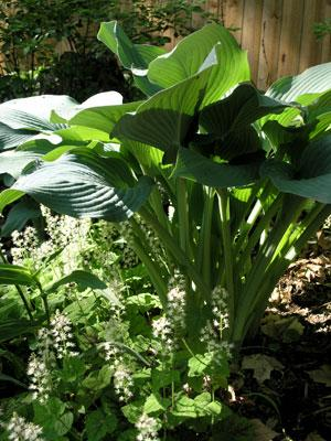 Join the Middle Tennessee Hosta Society